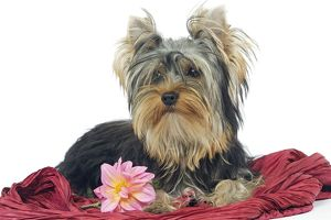 Dog - Yorkshire Terrier lying down
