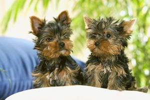 Dog - two Yorkshire Terrier puppies