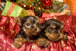 Dog - Yorkshire Terrier puppies with Christmas decorations