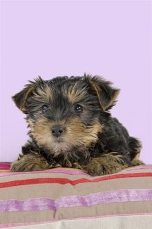 Dog - Yorkshire Terrier puppy - on cushion