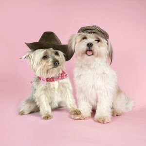 DOG. Yorkshire Terrier and Shih Tzu wearing hats