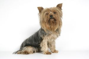 DOG. Yorkshire terrier sitting down