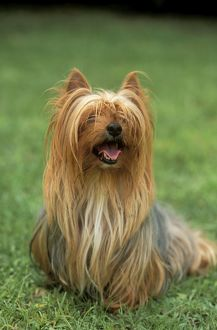 DOG, Yorkshire Terrier - sitting on grass