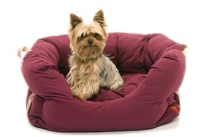 Dog - Yorkshire Terrier sitting down soft bed
