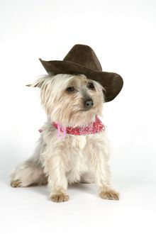 DOG. Yorkshire terrier wearing hat and scarf