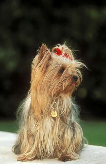 DOG -Yorkshire Terrier wearing name ID collar