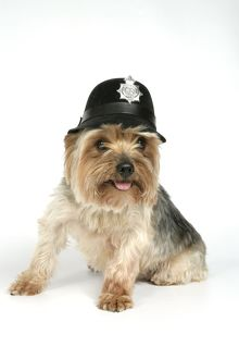 DOG. Yorkshire terrier wearing police hat