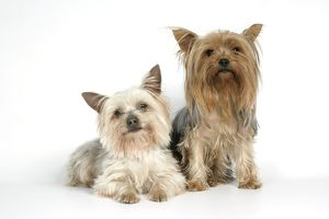 DOG. Yorkshire terriers