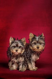 Dog - Yorkshire Terriers