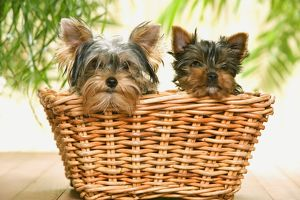 Dog - two Yorkshire Terriers in basket