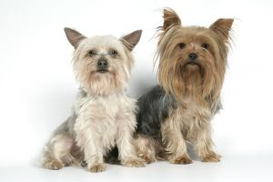 DOG. Yorkshire terriers sitting
