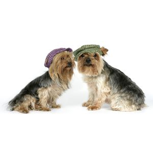 DOG. Two Yorkshire terriers wearing hats