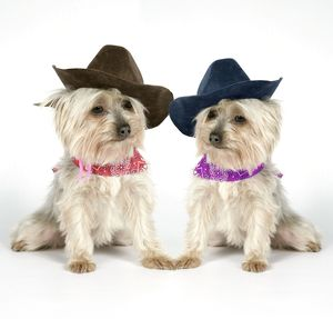DOG. Two Yorkshire terriers wearing hats and scarf