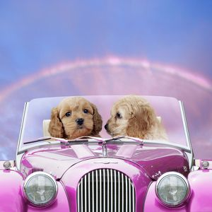 Dogs - 7 week old Cockerpoo puppies driving car through rainbow sunset on St Valentine's