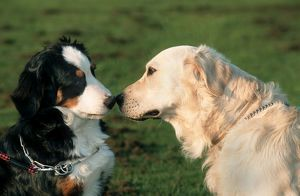 Dogs - Bernese Mountain Dog and Golden Retriever sniffing each others nose