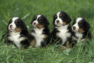 Dogs - Four Bernese Mountain puppies sitting together
