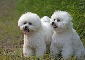 Dogs - Bichon Frise, two together on grass