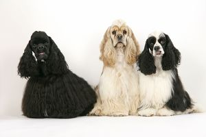 DOGS. Black, silver buff and black and white American cocker spaniels