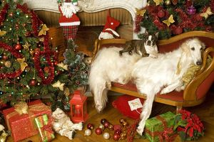 Dogs - Borzoi / Russian Wolfhoud and Boston Terrier with Christmas decorations