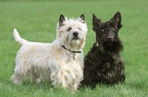 Dogs - Cairn Terrier and Scottish Terrier in garden