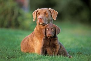 Dogs - Chesapeake Bay Retriever with puppy few