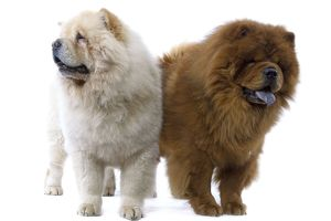 Dogs - Chow Chow