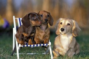 Dogs - Dachshund cream long-haired and two smooth-haired