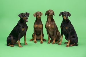 Dogs - Four Dobermans sitting down