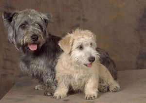 Dogs - Glen of Imaal Terrier Dog