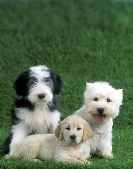 Dogs - Old English Sheepdog, Golden Retriever & West Highland Terrier puppies
