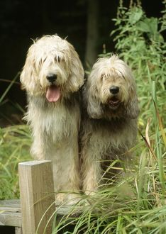 Dogs - Otterhound Dogs sitting together