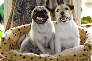 Dogs - Pug and Jack Russell in basket