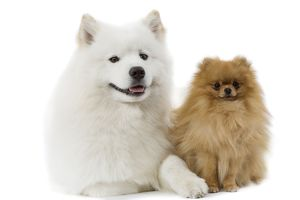 Dogs - Samoyed & Dwarf Spitz