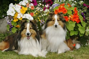 Dogs - Shetland Sheepdogs, two together in garden