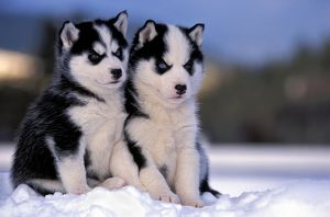 Dogs - Siberian Husky, two puppies sitting together