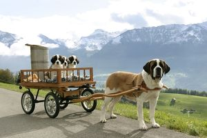 Dogs - St. Bernard female with three puppies in cart