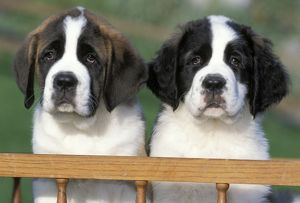 Dogs - St. Bernard puppies 8 weeks old sitting in cart