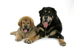 Dogs - Tibetan Mastiff adult & 10 wk old puppy