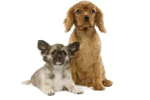 Dogs - Tibetan Spaniel and Cavalier King Charles puppies
