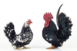 Domestic Chickens - pair of Nagasaki breed