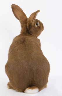 Domestic Rabbit - Fauve de Bourgogne in studio