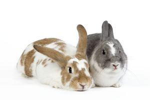 Domestic Rabbit - two in studio