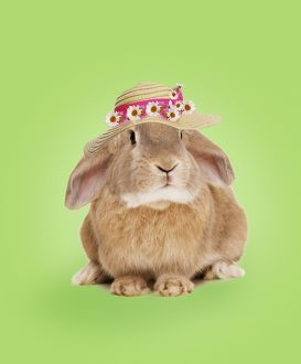 Domestic Rabbit - wearing straw hat with daisies.