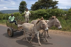 Donkeys - pulling carts between Ol Pejeta Conservancy