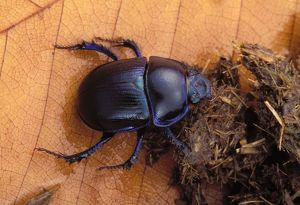 Dor beetle - feeding on dung
