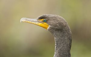 Double-crested Cormorant close-up of head in winter