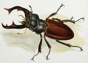 Drawing - Stag beetle, male, old artwork