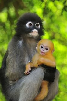 Dusky Leaf Monkey / Spectacled Langur / Spectacled Leaf Monkey - mother with baby