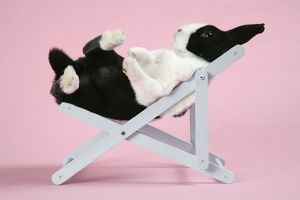 Dutch rabbit in a deckchair