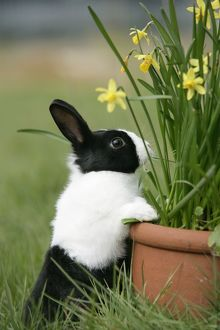 Dutch Rabbit with flowers